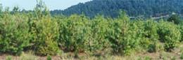 Plantaciones-Forestales